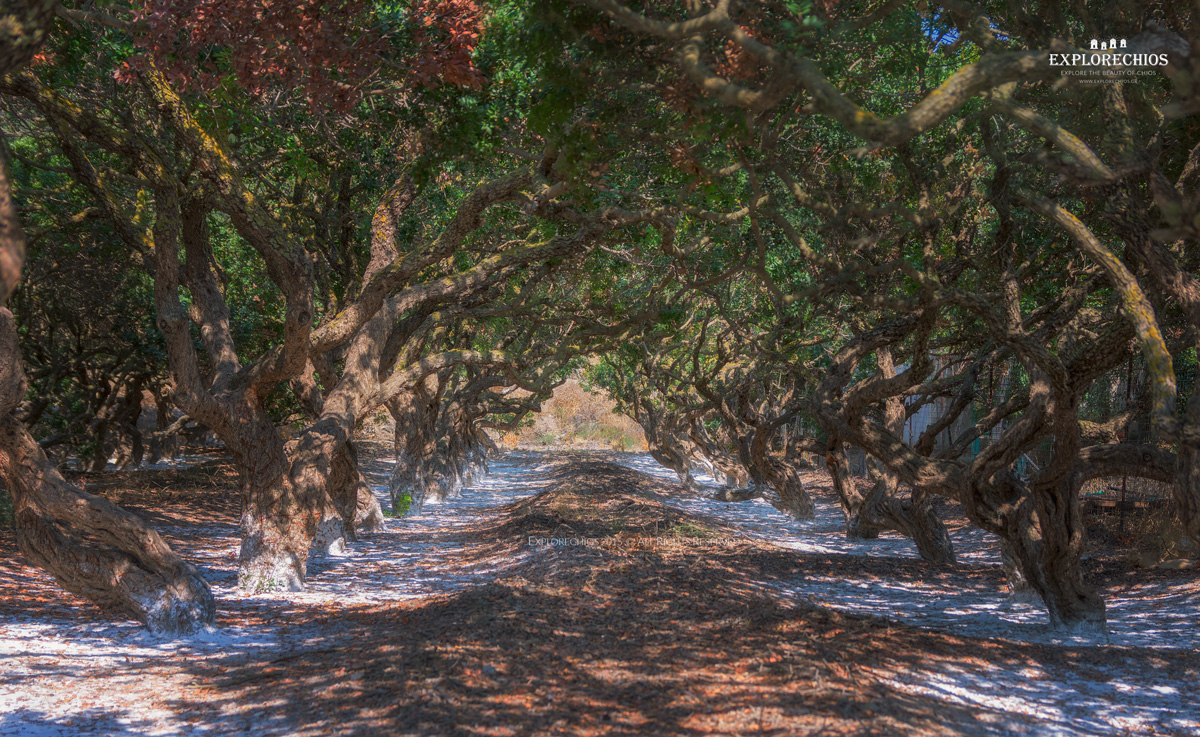 Mastic trees Chios.jpg